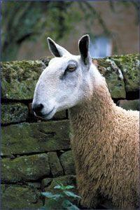 British Wool Week